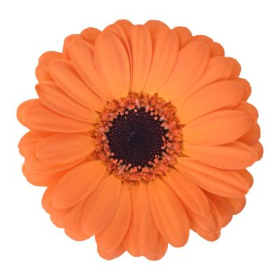 Nacho mini gerbera summer flowers