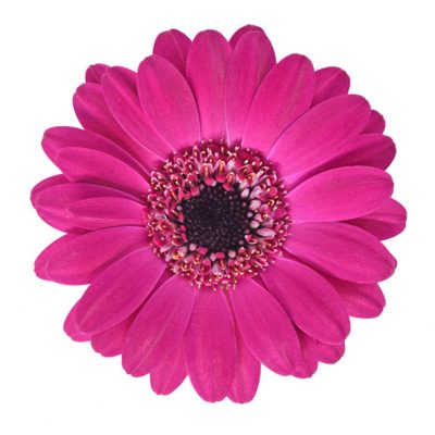 Navy mini gerbera summer flowers
