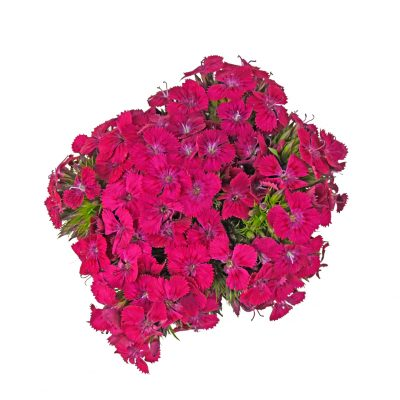 Neon hot pink dianthus summer flowers
