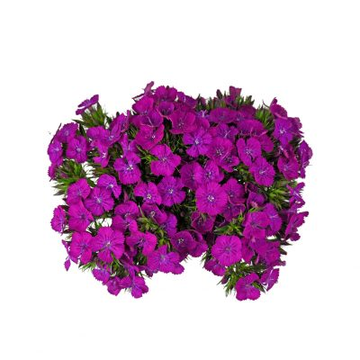 Neon purple dianthus summer flowers
