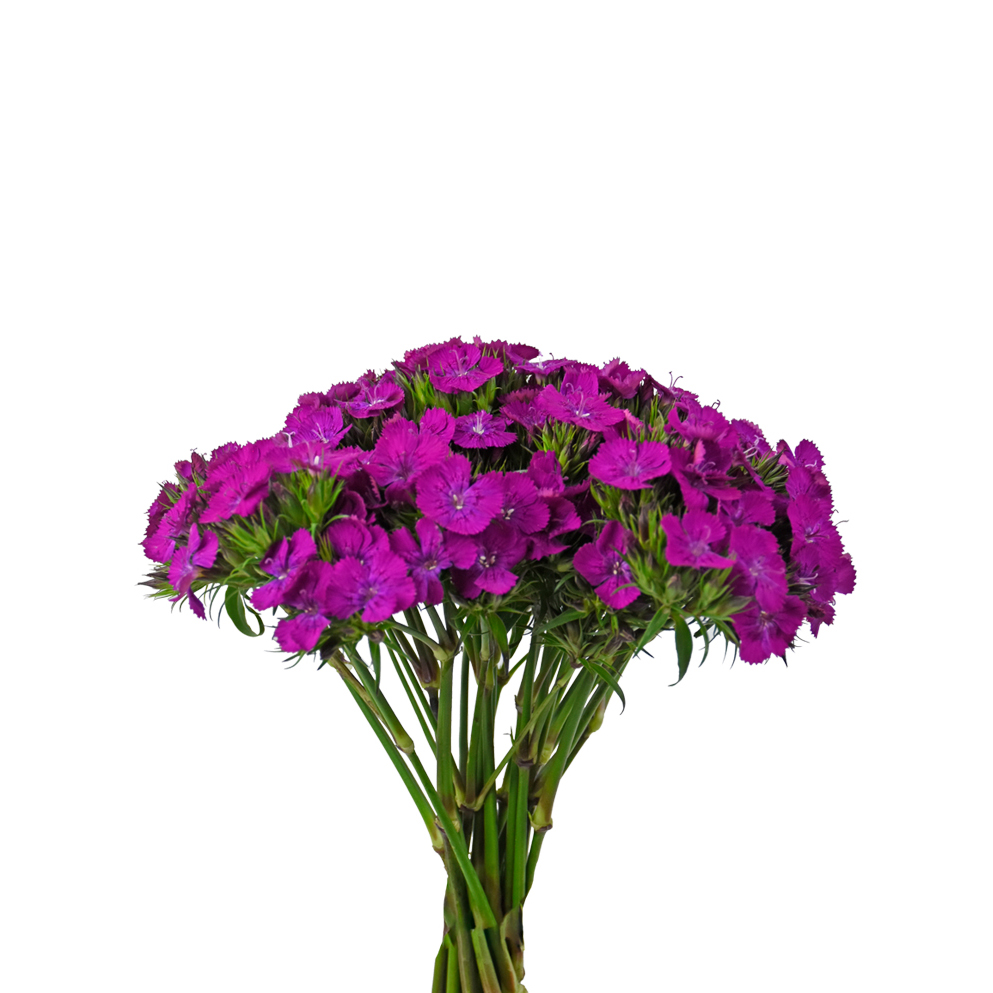 Neon purple dianthus summer flowers side