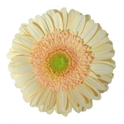 Noblesse gerbera summer flowers