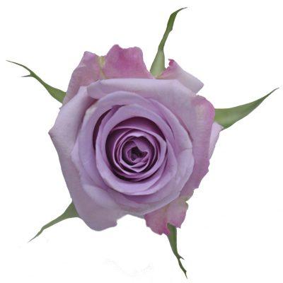 Ocean song lavender roses
