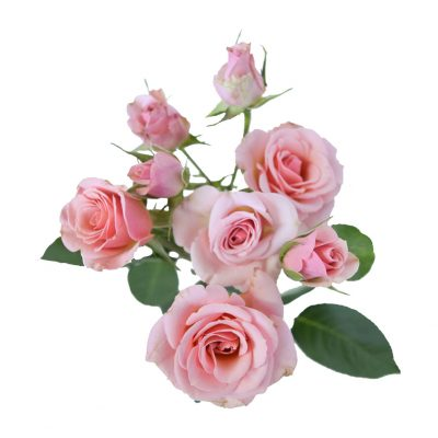 Odilia spray roses