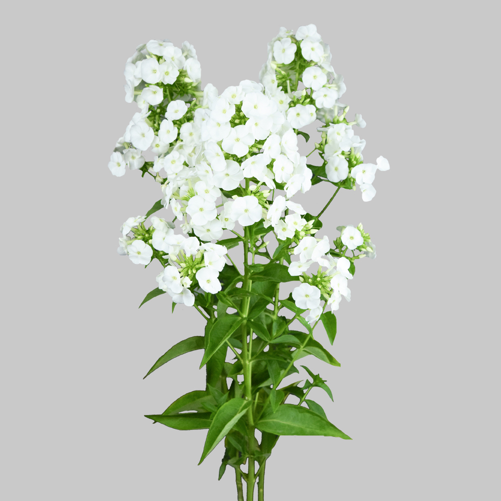 Phlox white ice summer flowers