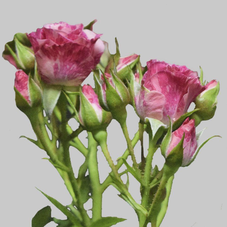 Pink flash hot pink spray roses close up