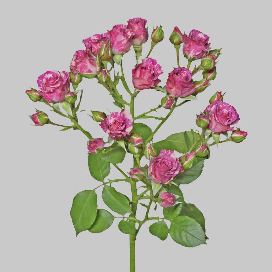Pink flash hot pink spray roses stem