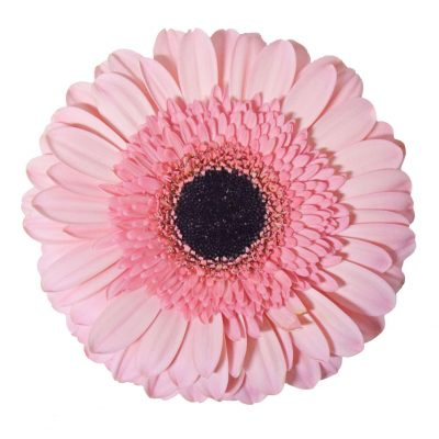 Pink sensation gerbera} summer flowers