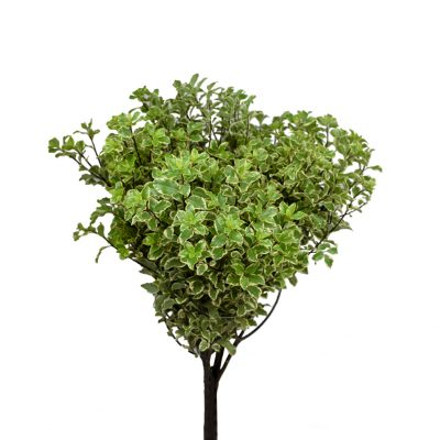 Pittosporum italiano greens