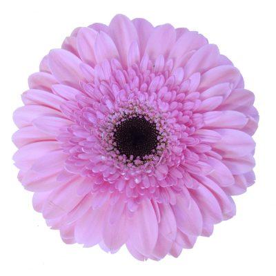 Pre semmy gerbera summer flowers
