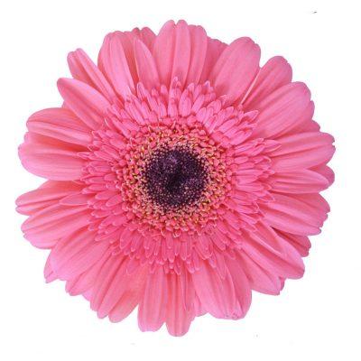 Preintenzz gerbera summer flowers