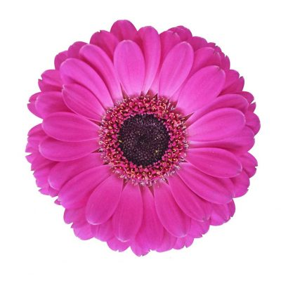 Rapido mini gerbera summer flowers
