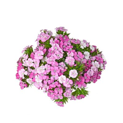 Rose magic dianthus summer flowers