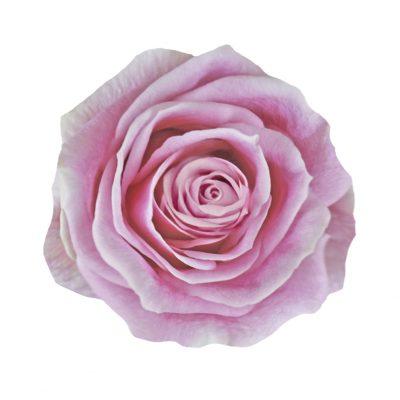 Rosita vendela pink roses