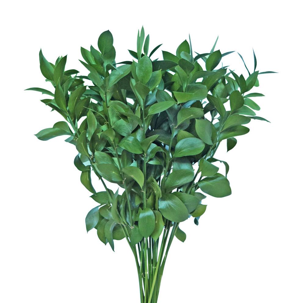 Ruscus greens
