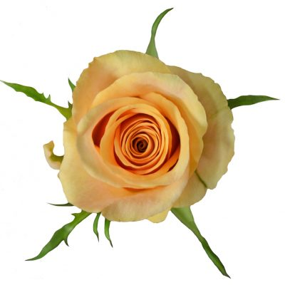 Safari yellow roses