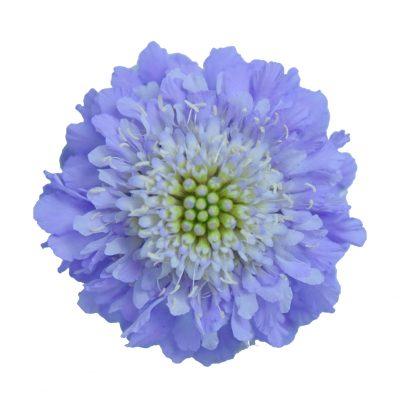 Scabiosa lavender summer flowers