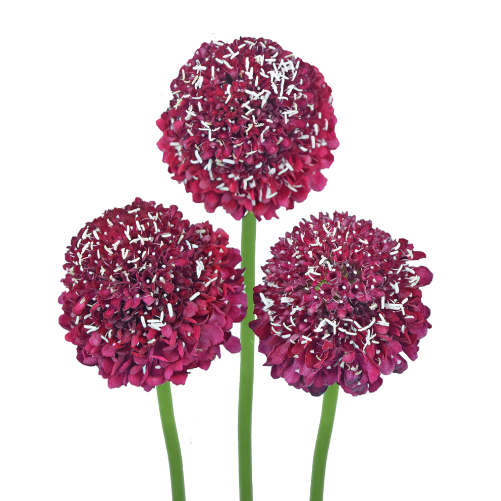 Scabiosa red summer flowers side