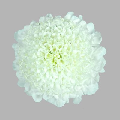 Scabiosa white summer flowers