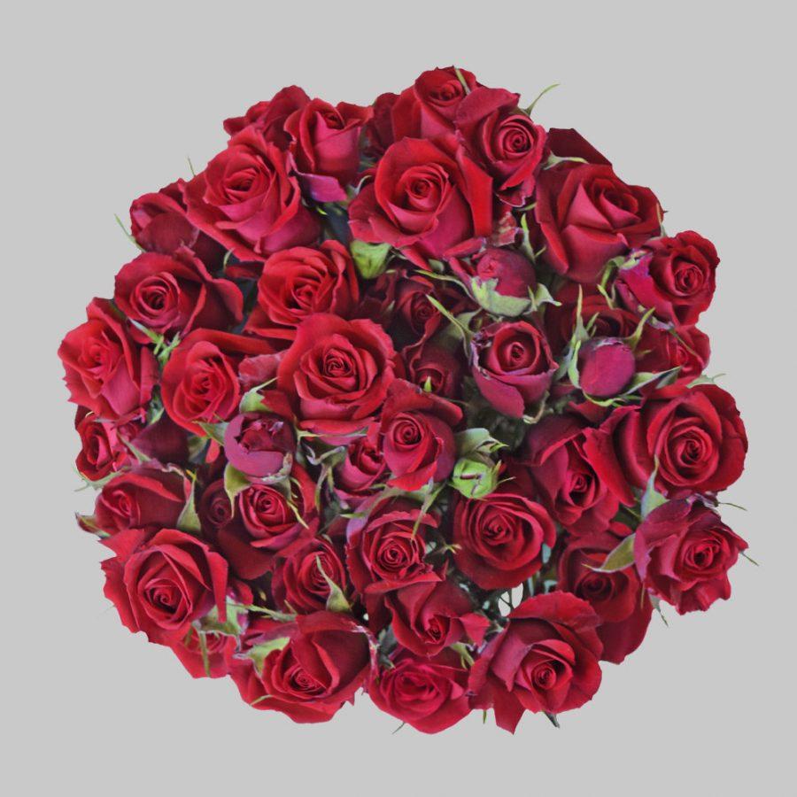 Scarlet mini red spray roses