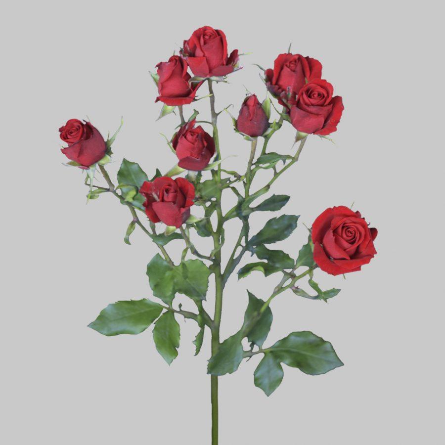 Scarlet mini red spray roses side