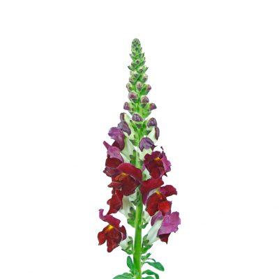 Snap dragon burgundy summer flowers