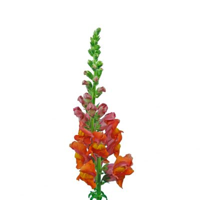 Snap dragon orange summer flowers