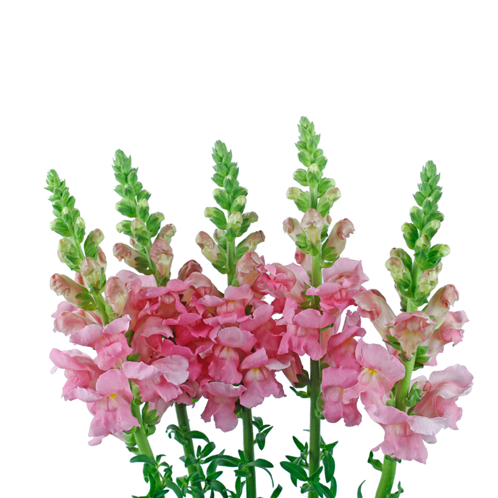 Snap dragon pink summer flowers side