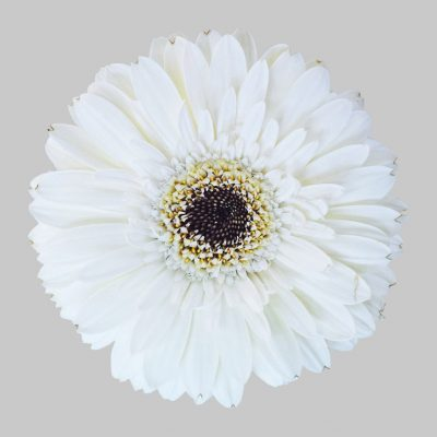 Snowy mini gerbera summer flowers