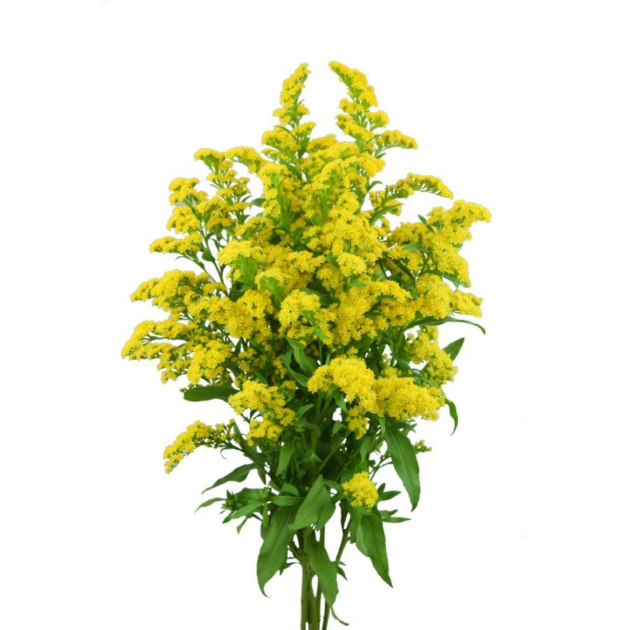 Solidago summer flowers