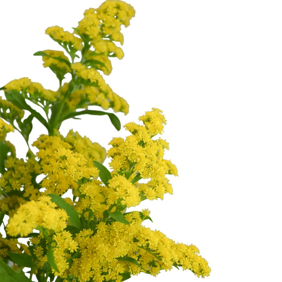 Solidago summer flowers close up