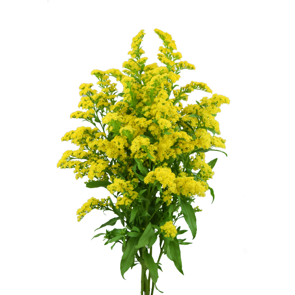 Solidago summer flowers