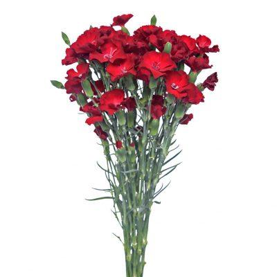 Solomio dark red summer flowers