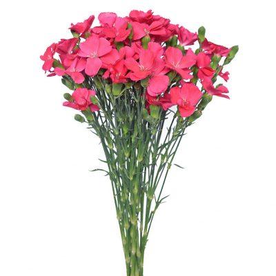 Solomio pink summer flower