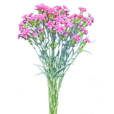 Solomio pink white edges summer flowers