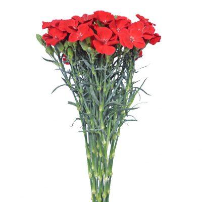 Solomio red summer flowers