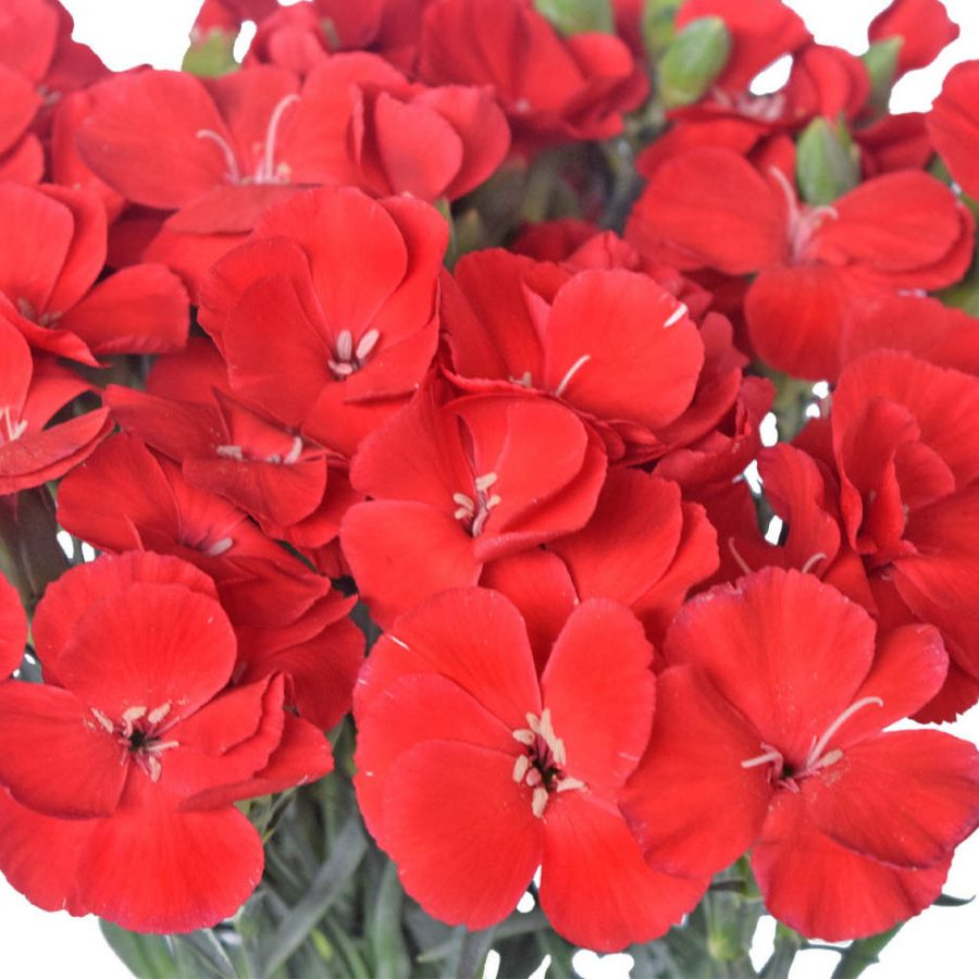 Solomio red summer flowers close up