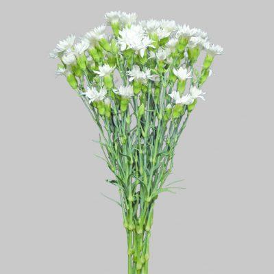 Solomio white summer flowers