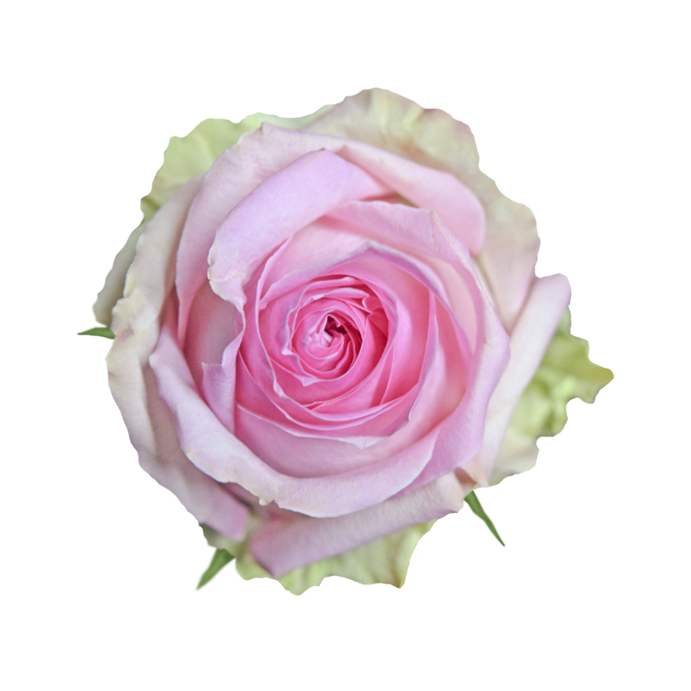 Sorbet avalanche pink roses