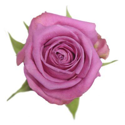 Soulmate hot pink roses