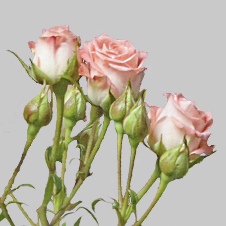 Star pink spray roses close up