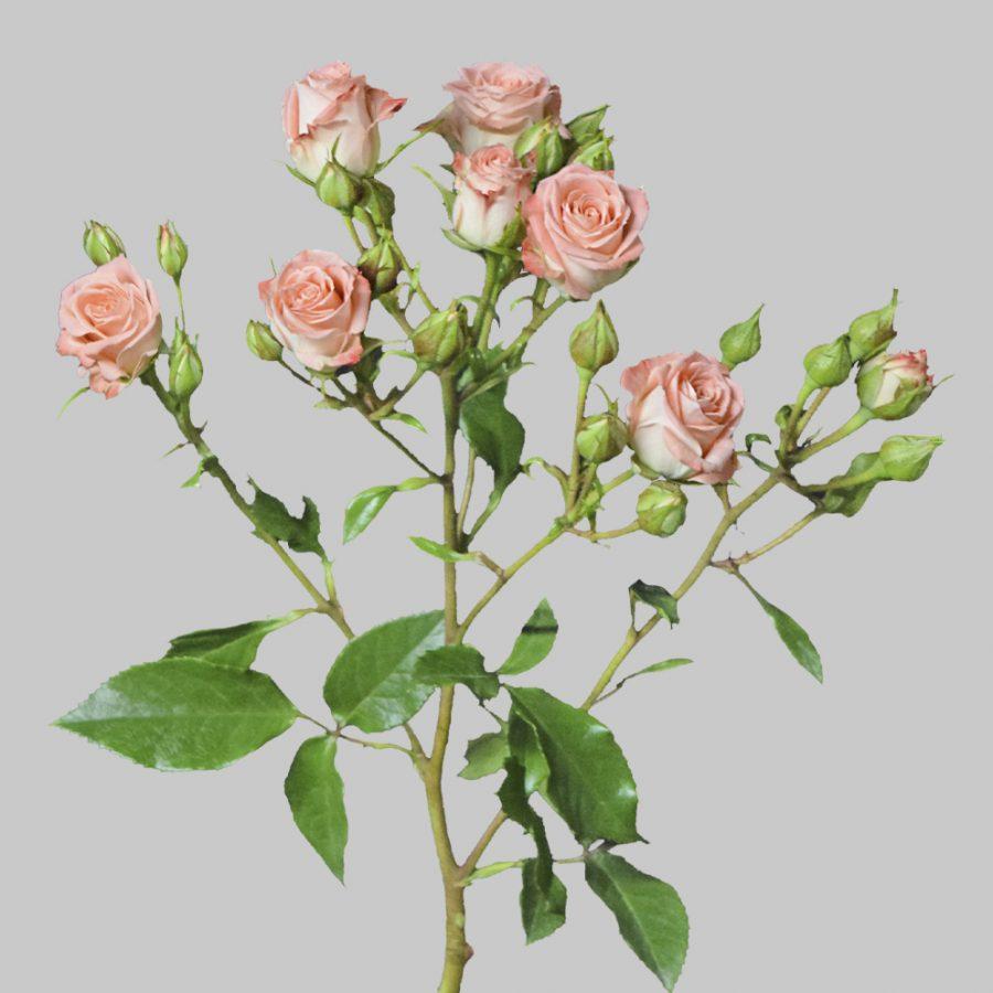 Star pink spray roses side
