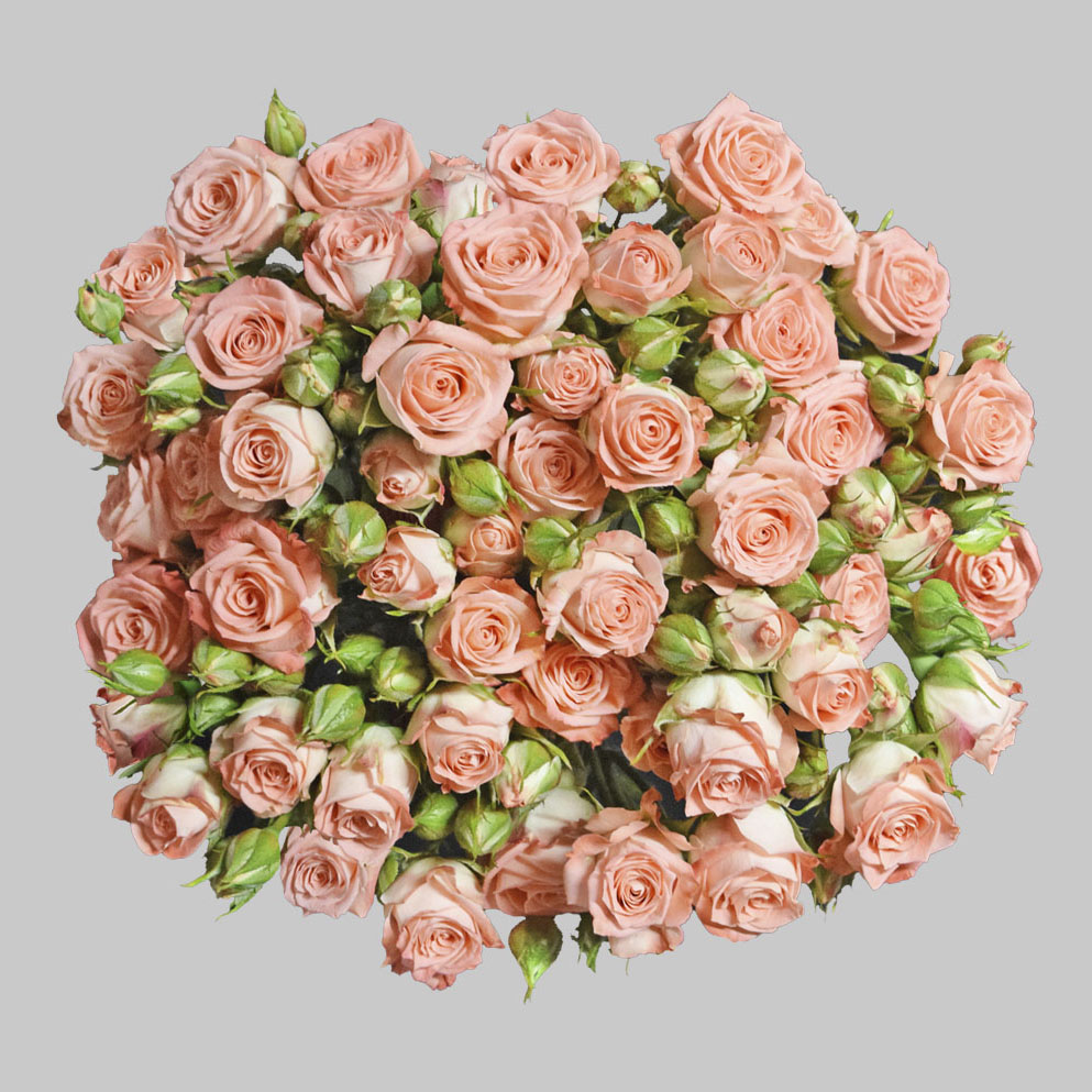 Star pink spray roses