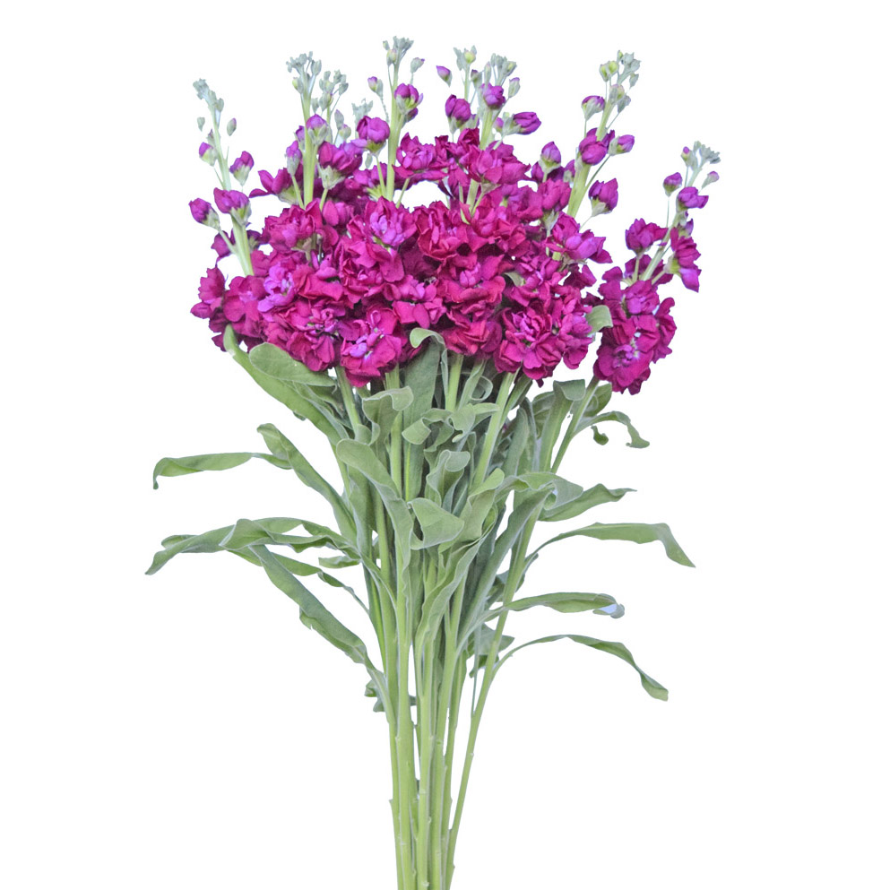 Stock hot pink summer flowers