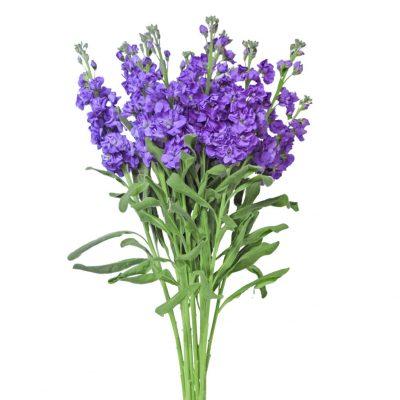 Stock lavender summer flowers