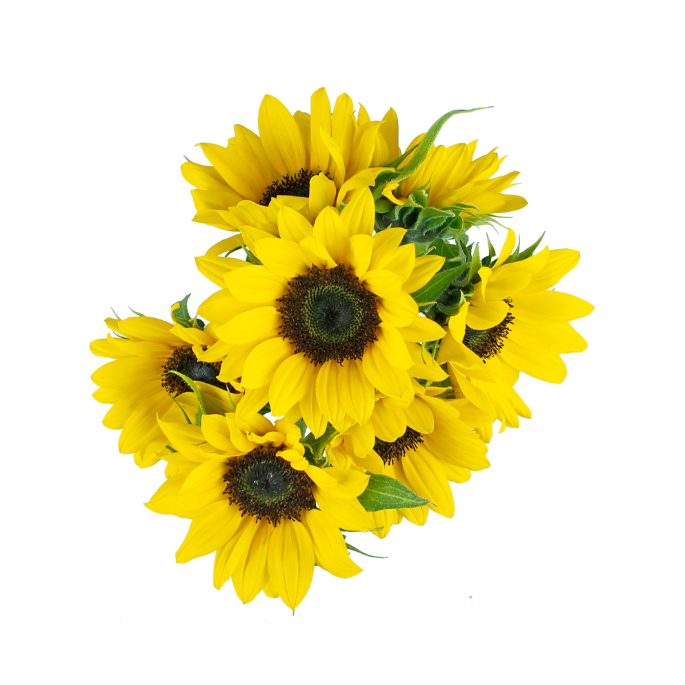 Sunflower summer flowers