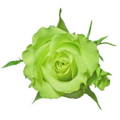 Super green roses
