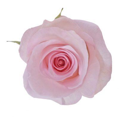 Sweet akito pink roses