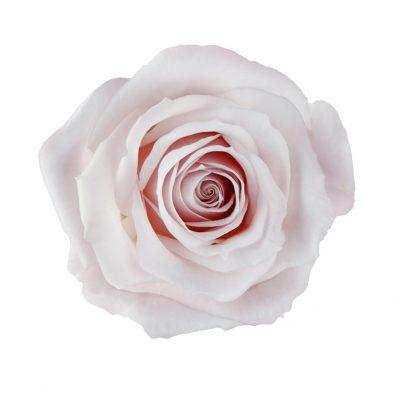 Sweet escimo pink roses