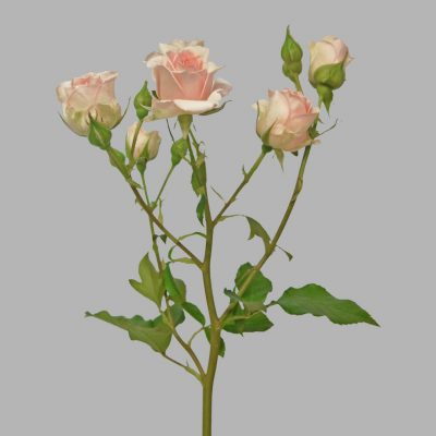 Sweet sahara spray roses